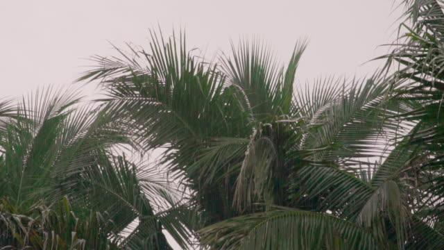 vídeos de stock, filmes e b-roll de tempestade de câmera lenta e chuvoso de coqueiros. - coco