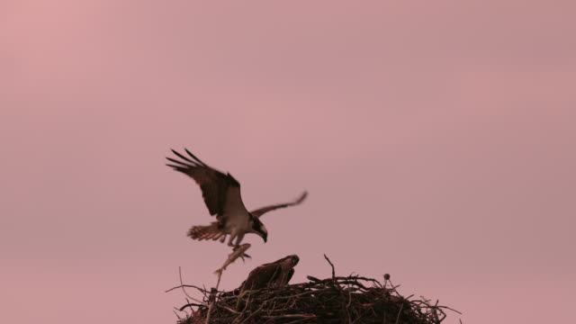 ms  4k  slow motion sunset shot of an osprey with 3 tiny chicks flying in with a large trout - osprey stock videos & royalty-free footage