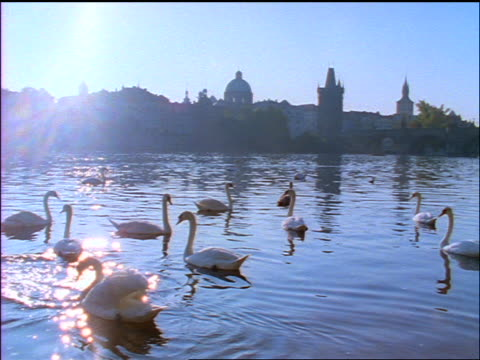 slow motion swans swimming on vltava river / prague skyline in background / czech republic - aquatisches lebewesen stock-videos und b-roll-filmmaterial