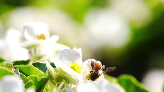 slow motion, bina samla nektar från pollen. - ståndare bildbanksvideor och videomaterial från bakom kulisserna