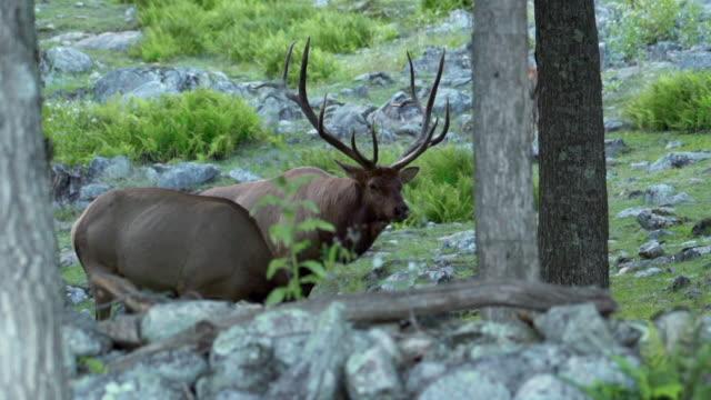 stockvideo's en b-roll-footage met slow motion: three deer one with large antlers in rocky green landscape - kleine groep dieren