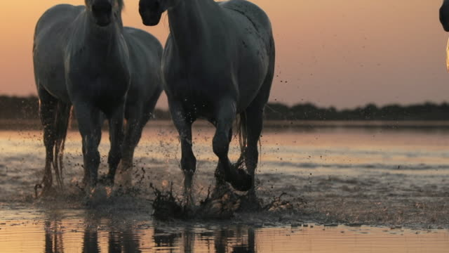slow motion tilt down shot of wet horses strolling on shore at beach during sunset - camargue, france - camargue stock-videos und b-roll-filmmaterial
