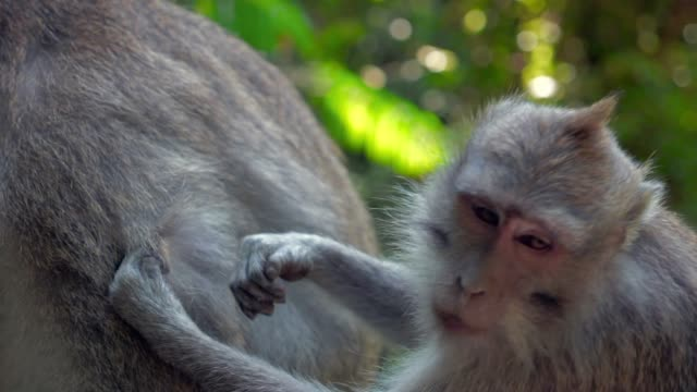 slow motion tilt-down: cute monkeys grooming each other in the jungle - ubud district stock videos & royalty-free footage