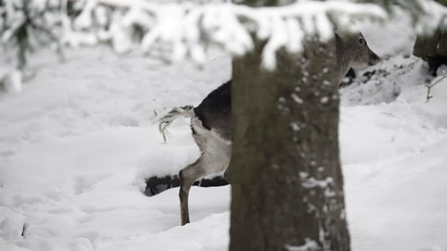 slow motion tracking of a wild baby deer walking through a snow covered pine forest on a winter day - erfurt, germany - pine woodland stock videos & royalty-free footage