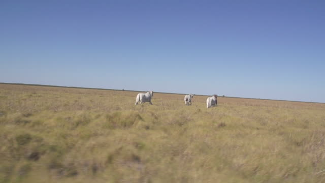 Slow motion tracking of cows running