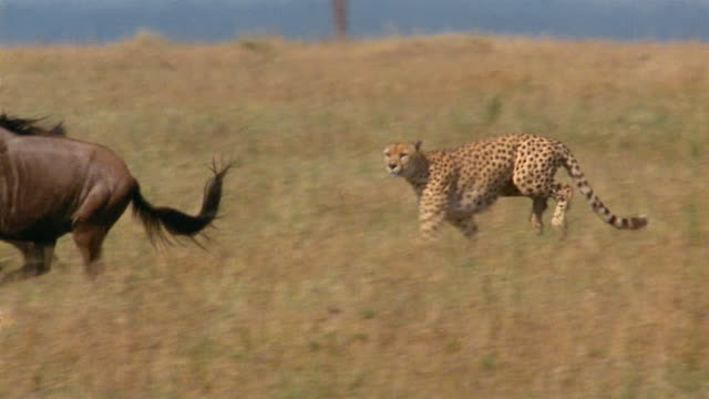 Slow motion tracking shot cheetah chasing wildebeest and taking it down / other wildebeests in background / Africa
