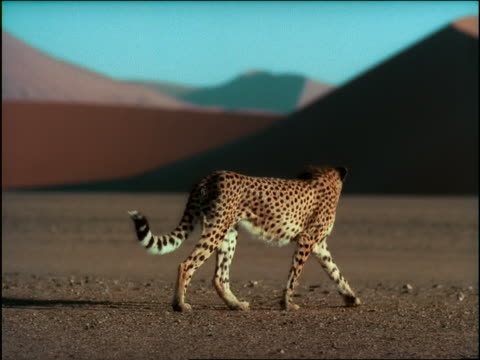 slow motion tracking shot cheetah walking in desert / black male athlete running past in background / africa - cheetah stock videos and b-roll footage
