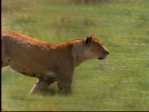 vídeos de stock e filmes b-roll de slow motion tracking shot female lion running in grass / africa - leão