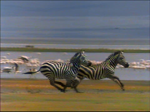 slow motion tracking shot two zebras running on plain / flock of flamingos take off from water in background / Africa