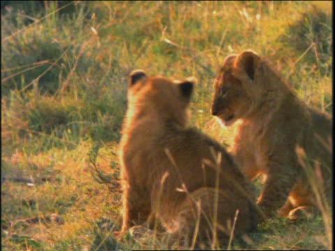 vídeos y material grabado en eventos de stock de slow motion two lion cubs looking at camera / they start wrestling + playing - animales de safari