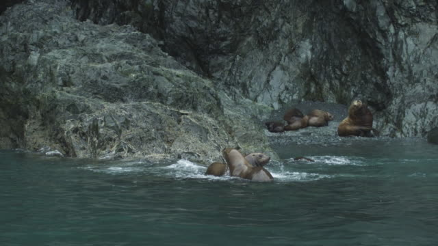 cu slow motion two sea lions tussle in shallow water, alaska, 2011 - shallow stock videos & royalty-free footage