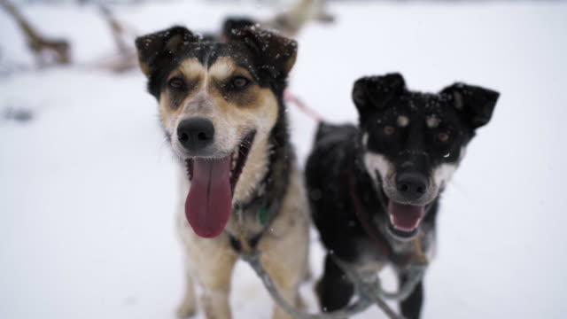 slow motion: two sled dog partners happily greet gloved hand, fairbanks, alaska - canine stock videos & royalty-free footage