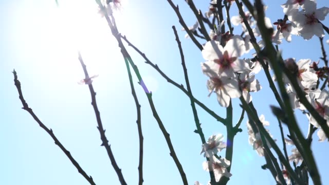slow motion video of almond tree flowers in wind - selimaksan stock videos & royalty-free footage