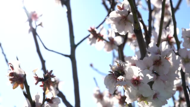 slow motion video of almond tree flowers in wind - selimaksan stock videos & royalty-free footage