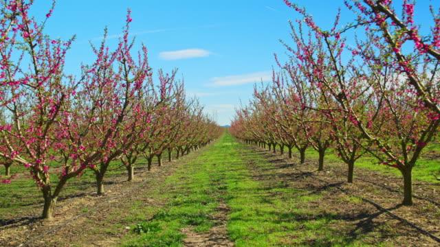 zeitlupenvideo von blühenden obstbäumen - obstbaum stock-videos und b-roll-filmmaterial