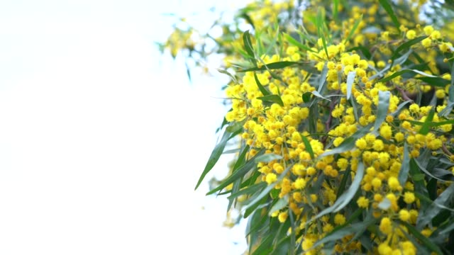 HD Slow Motion Video Of Mimosa Flowers In Wind On White Background