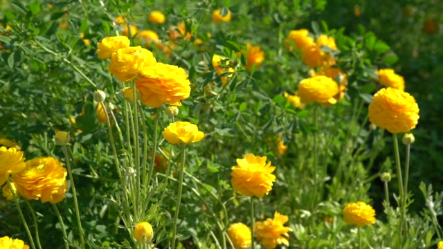 hd slow motion video of ranunculus flowers in wind - ranunculus stock videos & royalty-free footage