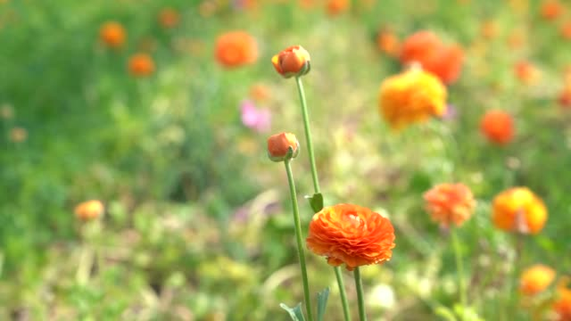 stockvideo's en b-roll-footage met hd slow motion video van ranunculus bloemen in wind - ranonkel