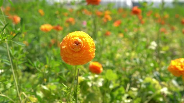 HD Slow Motion Video Of Ranunculus Flowers In Wind