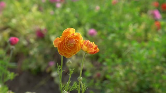 vídeos de stock, filmes e b-roll de vídeo hd slow motion de ranunculus flowers in wind - selimaksan