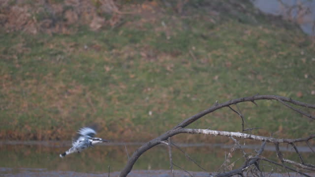 slow motion video pied kingfisher - safari india stock videos and b-roll footage
