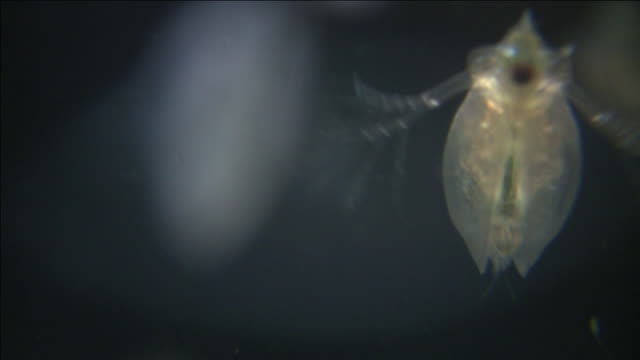 slow motion water fleas (daphnia sp.): common planktonic crustaceans in eutrophic swamps and freshwater environments. their sort lifespans and reproductive capibilities make them a useful indicator species. - daphnia stock videos and b-roll footage