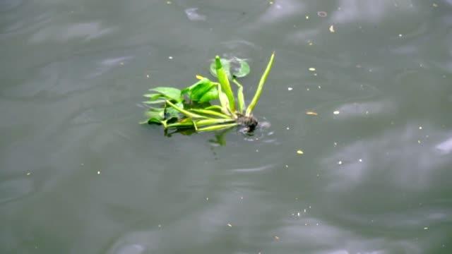 腐った運河の水の中でスローモーション水ヒヤシンス。 - ヒヤシンス点の映像素材/bロール