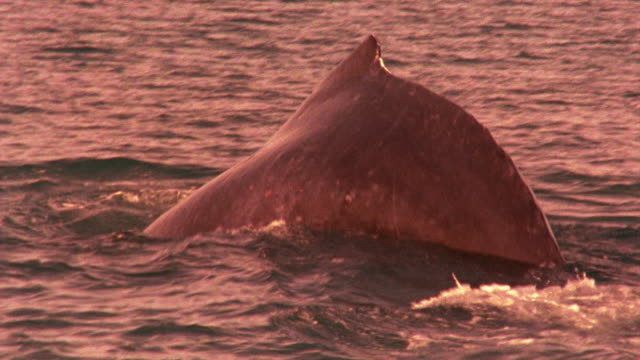 slow motion ms whale surfacing + submerging in ocean / glacier bay, alaska - lobtailing stock videos & royalty-free footage