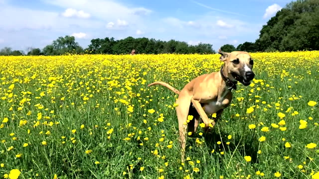 slow motion: whippet running through buttercups - blue dog stock videos & royalty-free footage