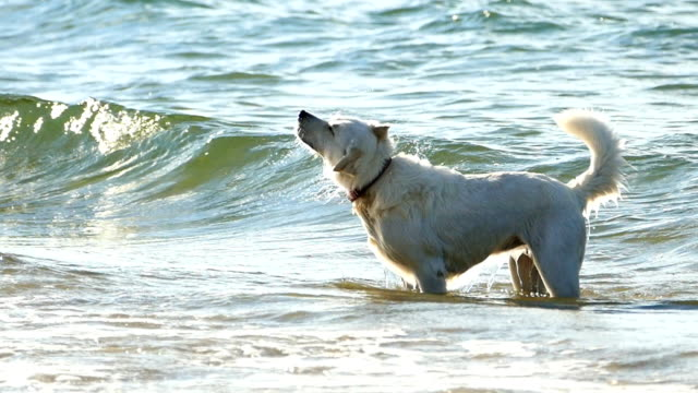 HD Slow motion White dog coming out from the water