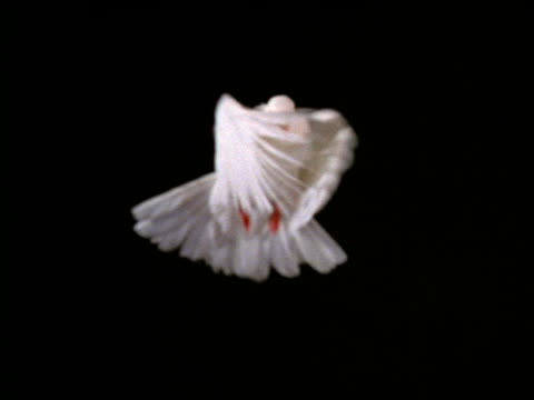 slow motion white dove hovering with black background - colomba video stock e b–roll