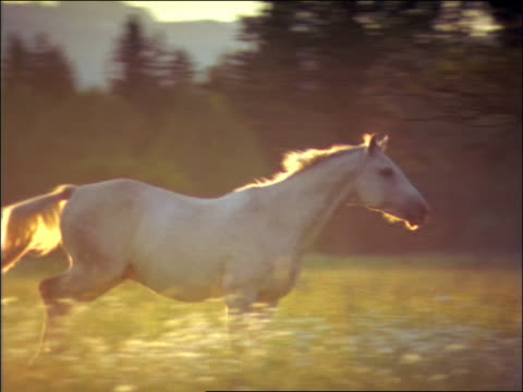 slow motion PAN white horse running in field / Montana