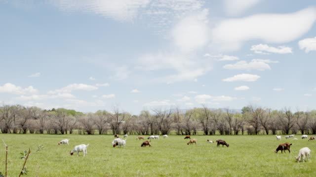 夏の間にコロラド州の緑の屋外牧草地で雑草を噛んで食べるかわいい農場ヤギのスローモーション広角ショット - 放牧地点の映像素材/bロール