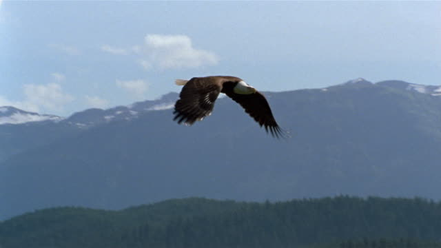 vidéos et rushes de slow motion wide shot tracking shot bald eagle flying over bay / alaska - aigle