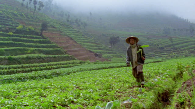 slow motion wide shot woman walking in lush cultivated field / foggy terraced hillside in background / Dieng, Java