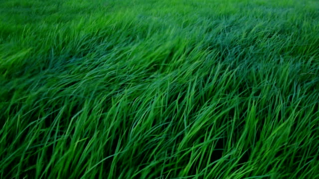 slow motion wind blowing through meadow - grass family stock videos & royalty-free footage