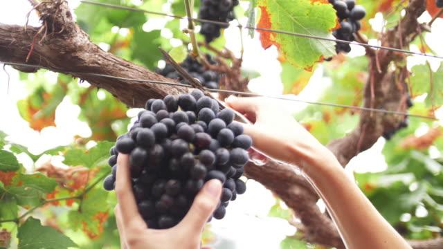 vídeos de stock e filmes b-roll de slow motion woman hand cutting blue grape, 4k - primeiríssimo plano