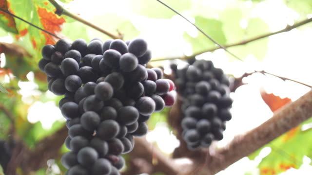 vidéos et rushes de main de femme de mouvement lent coupant le raisin bleu, 4k - tenir
