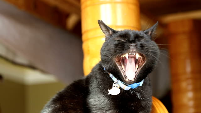 slow motion yawning black cat - animal head stock videos & royalty-free footage