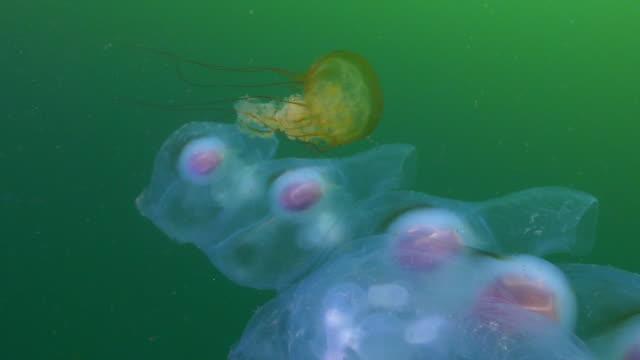 slow motion: yellow jellyfish swimming around salp chain undersea - monterey, california - sea squirt stock videos & royalty-free footage