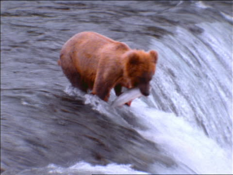 slow motion zoom in brown bear in waterfall catching salmon in mouth + walking / Alaska