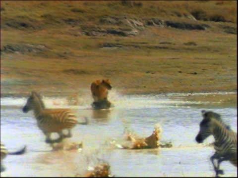slow motion zoom in pan female lion chasing herd of zebras in watering hole on plain / africa - シマウマ点の映像素材/bロール
