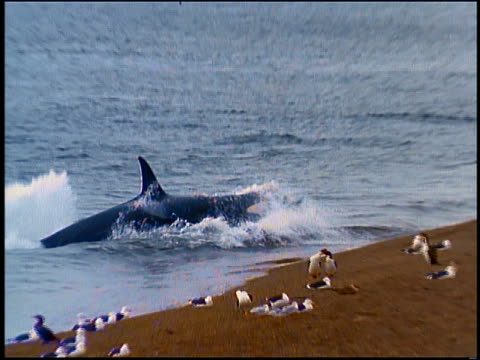 vídeos de stock e filmes b-roll de slow motion zoom in killer whale attacking sea lions in surf by beach - orca