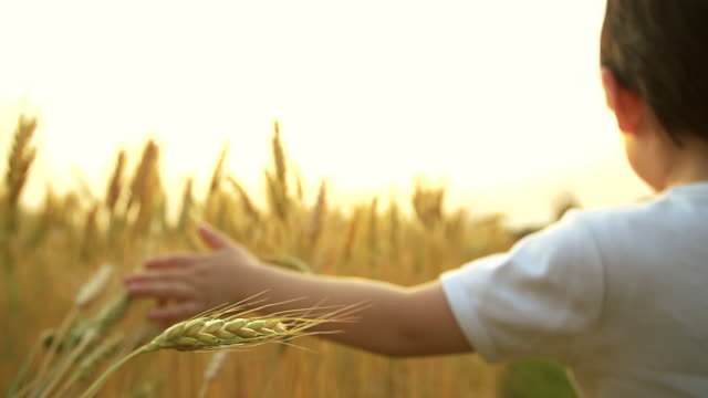 HD slow motion:Baby boy in a ripe golden wheat field holding and touching the crop.