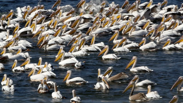 vídeos de stock e filmes b-roll de slow motion/flock of great white pelicans feeding on fish in water - pelicano