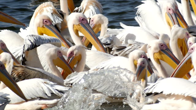 slow motion/flock of great white pelicans feeding on fish - beak stock videos & royalty-free footage