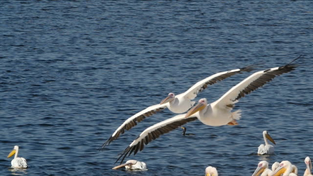 vídeos de stock e filmes b-roll de slow motion/flock of great white pelicans feeding - pelicano
