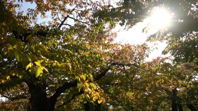 スローモーションhd -風が公園内の黄色と赤の木を吹いた(秋の日の出ワイドショット) - 枝点の映像素材/bロール
