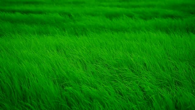 vídeos y material grabado en eventos de stock de lento movimiento: viento que sopla a través de prado - hierba familia de la hierba