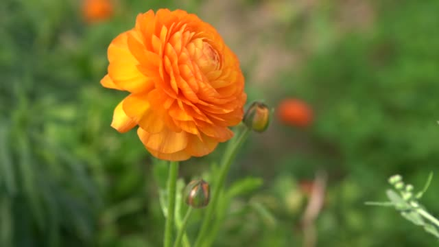 stockvideo's en b-roll-footage met langzame moton hd video van ranunculus bloemen in wind - ranonkel